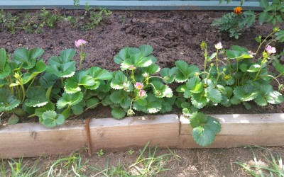 Stop after only one 20 metre garden bed? I don't think so. Introducing garden bed #2
